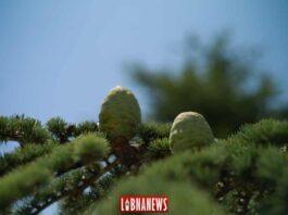 Pomme de Cèdre du Liban. Crédit Photo: François el Bacha pour Libnanews.com. Tous droits réservés.