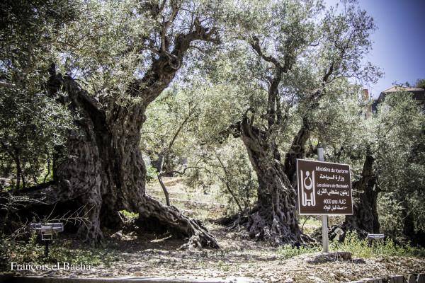 Les oliviers éternels de Bchaaleh, localité du Nord Liban. Crédit photo: François el Bacha, tous droits réservés. Visitez mon blog http://larabio.com