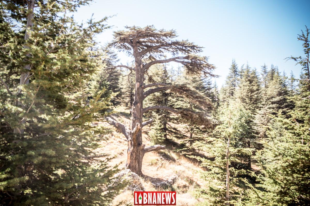 La forêt des Cèdres au Nord Liban. Crédit Photo: François el Bacha pour Libnanews.com. tous droits réservés.