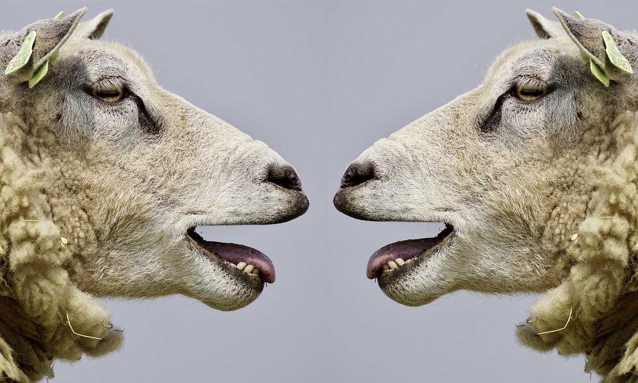 Mouton, Panruge, Silence, Agneaux, Abattoir