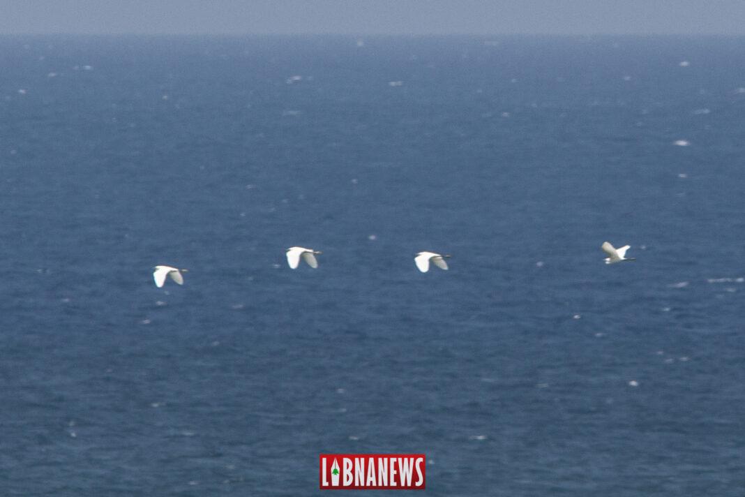 Des oiseaux migrateurs au large des côtes libanaises. 23/07/2019. Crédit Photo: Francois el Bacha pour Libnanews.com. Tous droits réservés