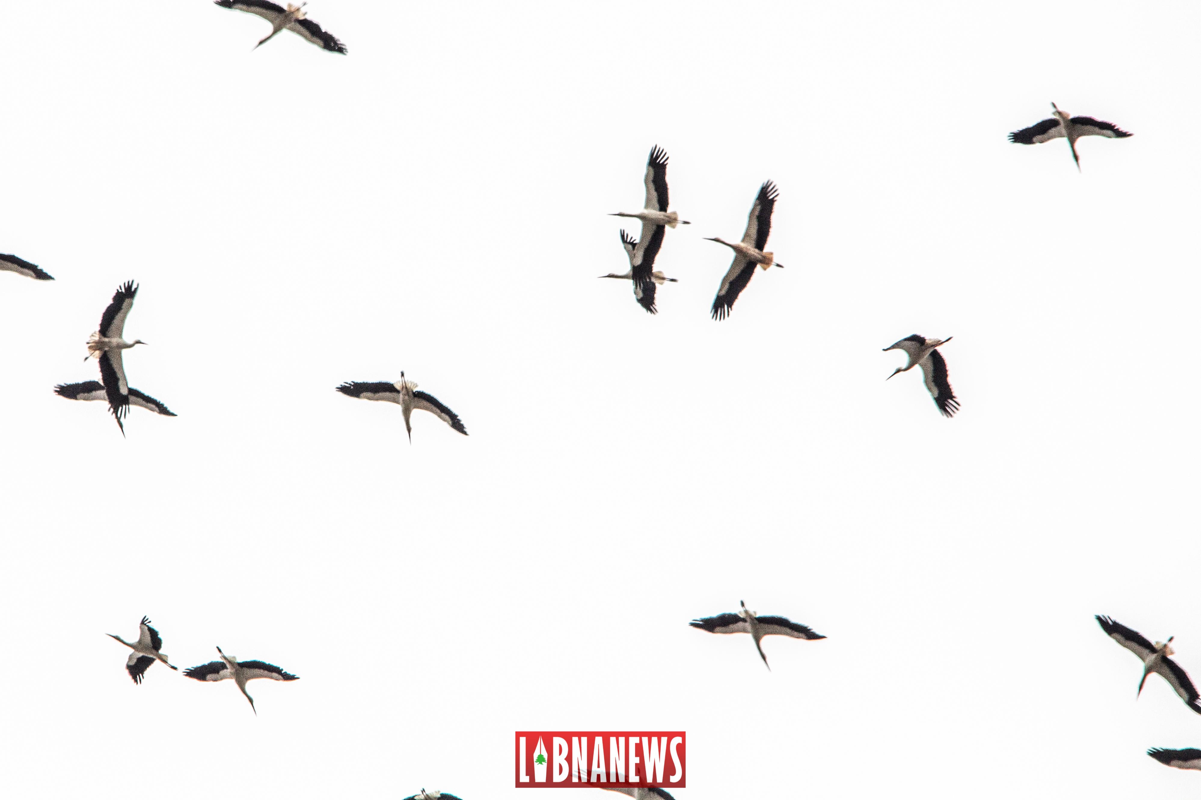 Des cigognes dans le ciel du Liban. Crédit Photo: François el Bacha pour Libnanews.com. Tous droits réservés.
