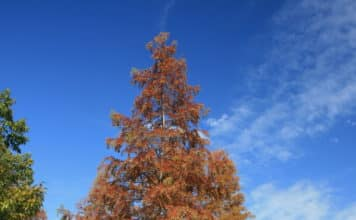 Wikipedia Metasequoia Glyptostroboides Autumn Leaf Color